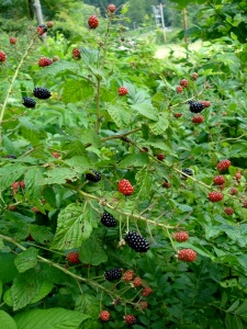 blackberry-bush